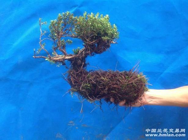 黄杨下山桩没有叶子能发芽成活吗?