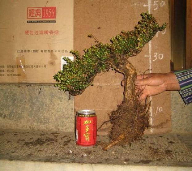 黄杨下山桩上盆后 怎么修根?