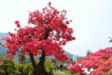 映山紅盆景在生長旺盛期需要施肥 補充微量元素