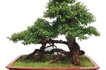 雀梅盆景怎么发芽 浇水与盆土的方法