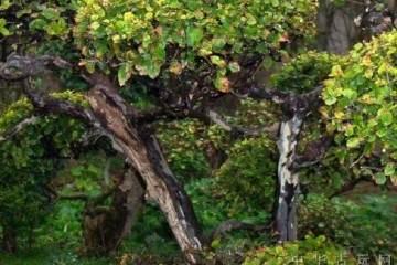 雀梅盆景在秋季能换盆吗?