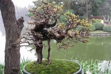 如何给雀梅盆景选树桩?