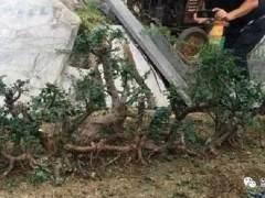 一棵连体雀梅下山桩1米9 价格卖了3千9 图片