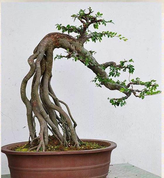 老师傅栽种榆树、雀梅下山桩的经验之谈