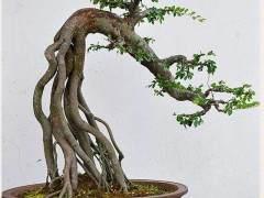 老师傅栽种榆树、雀梅下山桩的经验方法 图片