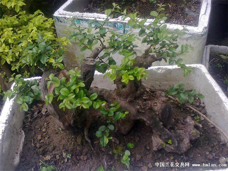 雀梅下山桩处理与培养土的配制