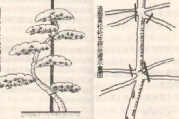 黑松小苗盆景的造型图解