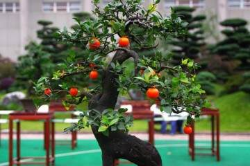 黑松盆景的选材与树干造型