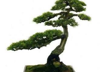 黑松盆景的选材与小枝片的攀扎