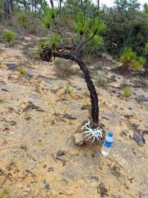 挖到一棵黑松下山桩 还没下山 就被人1200元买了