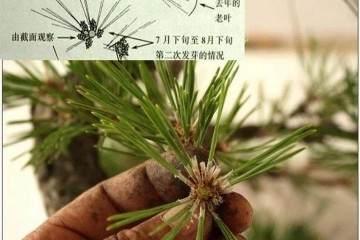 图解 黑松盆景的短针造型法 7幅