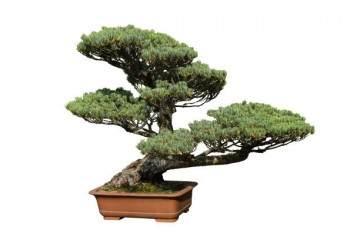 關于黑松盆景品種的一點看法