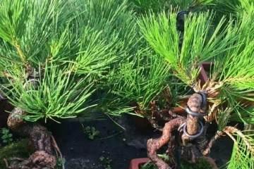 图解 如何自培小型黑松盆景的切芽 21幅