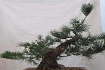 图解 苗培黑松盆景17年来的制作过程 21幅