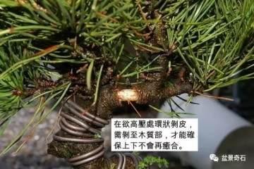 图解 黑松盆景的高压繁殖法 9幅