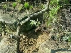 小黑松下山桩 挖出后才发现它原来这么美 图片