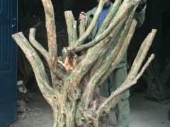 杜鹃下山桩怎么发芽 定根与浇水的方法