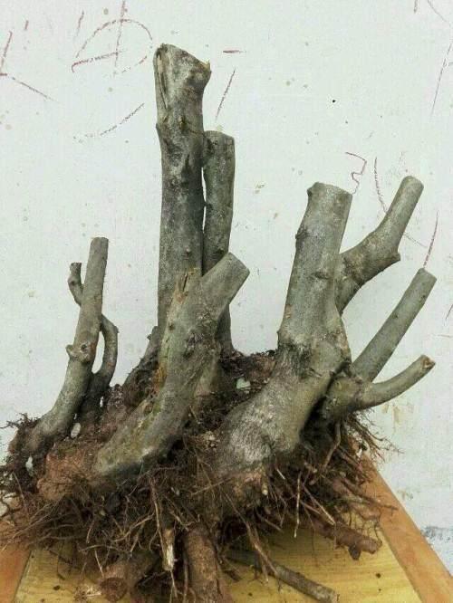 野生杜鹃花下山桩的移栽上盆过程