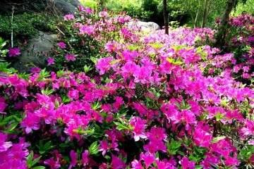新买的杜鹃花盆景用酸性土壤换盆最好