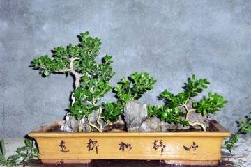 黄杨老桩盆景在春季萌芽前怎么繁殖栽培