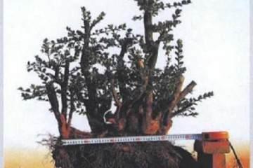 图解 丛林黄杨盆景《童梦》制作过程 5幅