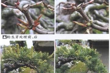 树石盆景的修剪与整形