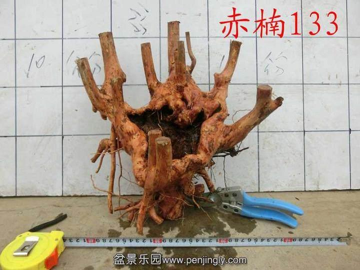 赤楠下山桩的采挖和种植
