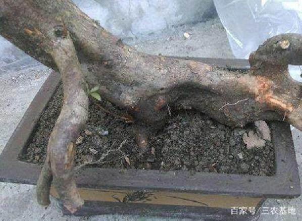 下山桩的定型与修根