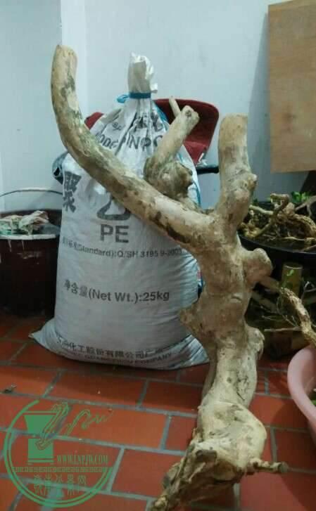 榆树下山桩多久浇水能提高移栽成活率