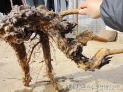 榆树下山桩多久浇水 怎么提高移栽成活率 图片