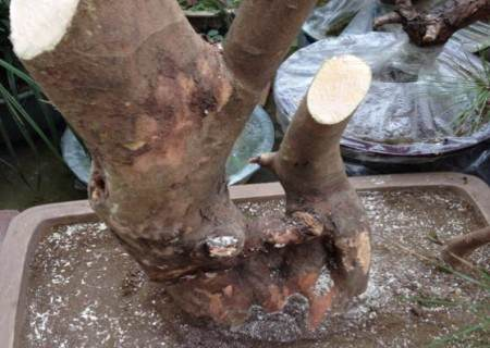 白花继木下山桩采挖方法2