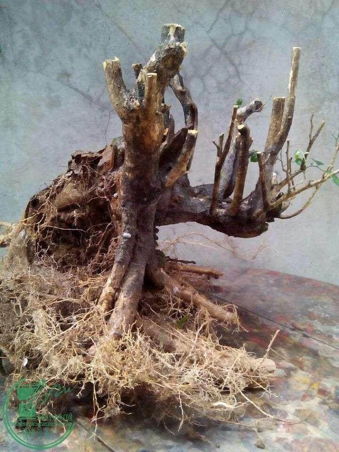 清香木下山桩的栽培季节为 11月中旬到5月下旬