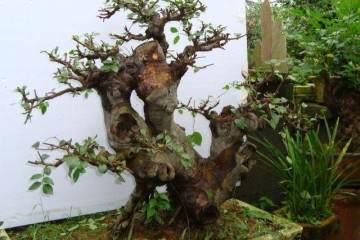 榆树老桩盆景对盆土有什么要求 怎么换土