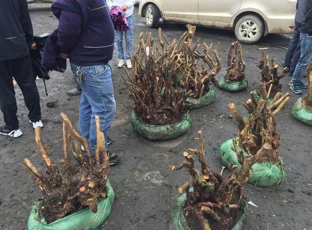 下山桩栽植两个月三个月还未发芽 怎么办?