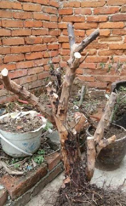雀梅下山桩上盆或者移栽之前处理 如何得当?