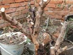 雀梅下山桩上盆或者移栽之前怎么处理 如何得当