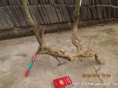 为什么下山桩一定要用水雾喷洒树干3次 图片