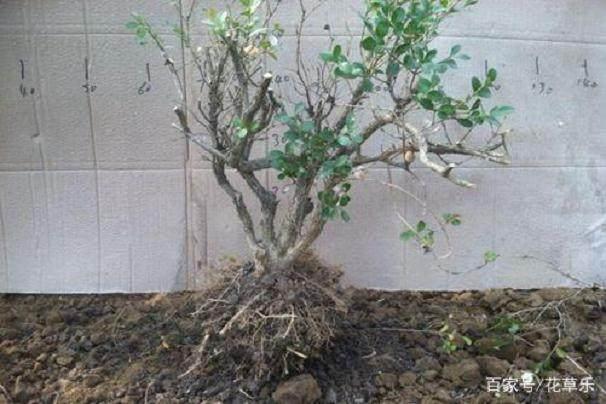 如何快速让黄杨下山桩成活 1个月就能出芽?