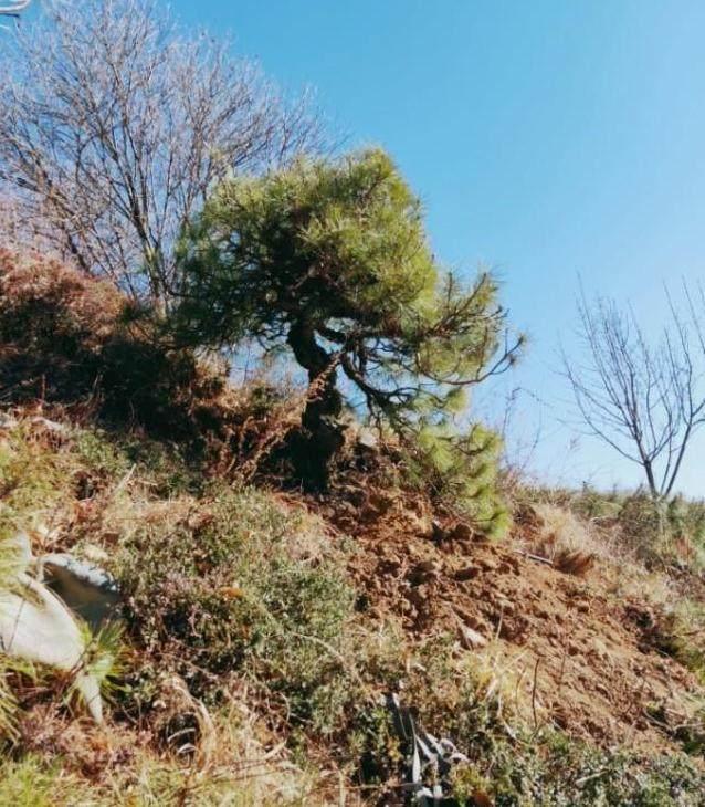 几百就买一棵山松下山桩 制作成盆景 值上万!
