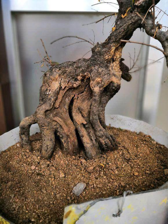 小叶鼠李下山桩怎么挖 如何上盆养护呢?