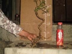 怎么假植盆景下山桩 可以用生根粉吗 图片