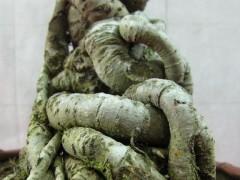 怎么种植榆树下山桩 采用这样的方法 图片