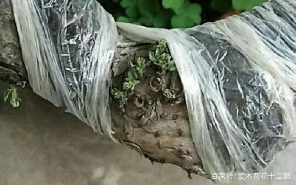 小叶榔榆下山桩回芽后的处理方法