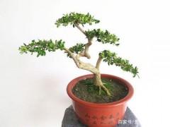 黄杨下山桩如何栽培 怎么催芽发芽养活呢?
