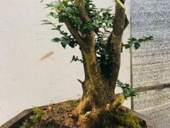 怎么养护黄杨下山桩 为什么会变成矮霸熟桩?