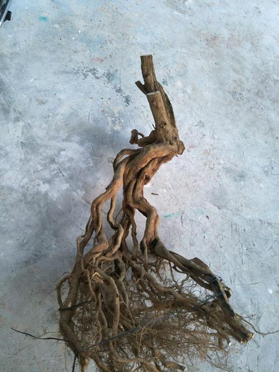 如何把博兰下山桩做成提根式盆景?