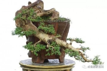 对节白蜡盆景怎么嫁接到桂花树上?具体操作你会吗?