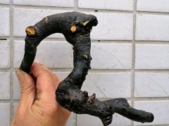 灌木金弹子下山桩怎么快速发根出芽 图片