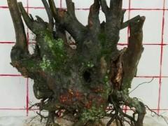 秋季下山桩怎么发芽养护 如何保湿与浇水