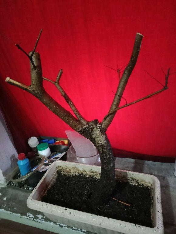 榔榆下山桩养个两三年后 就可以修剪攀扎了